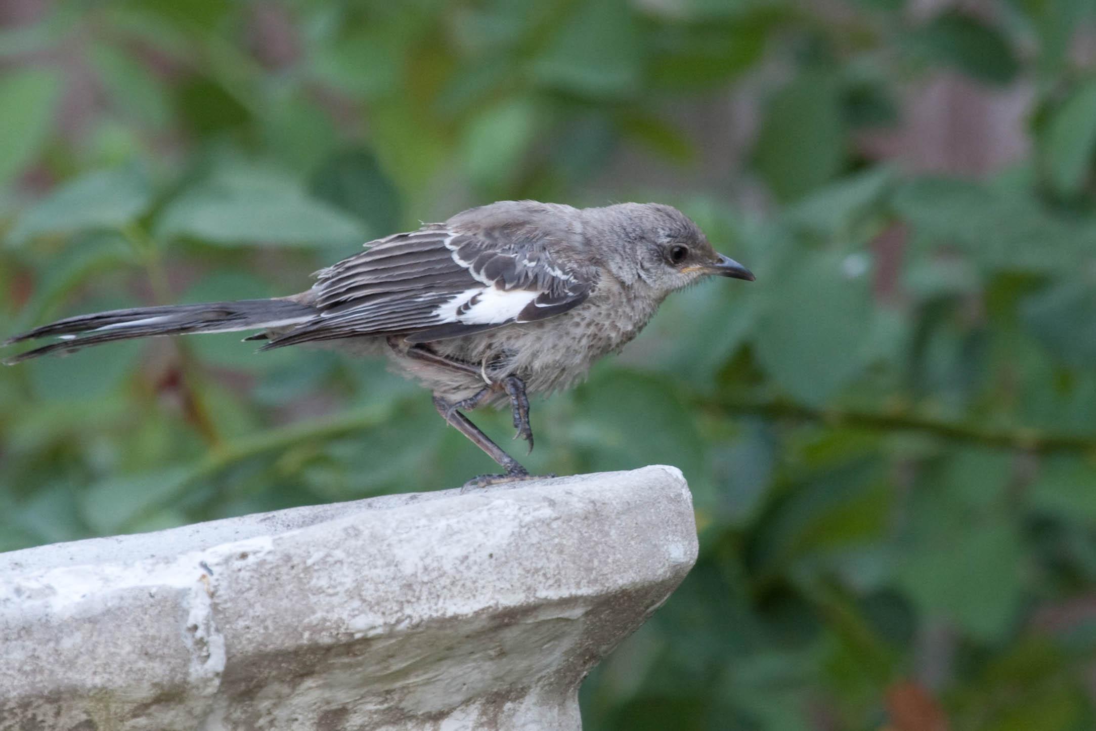Ann Brokelman Photography: Baby Mockingbird flapping wings ...  Newborn Mockingbird