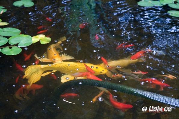 Butterfly koi texdr 39 s blog for Koi breeding pond