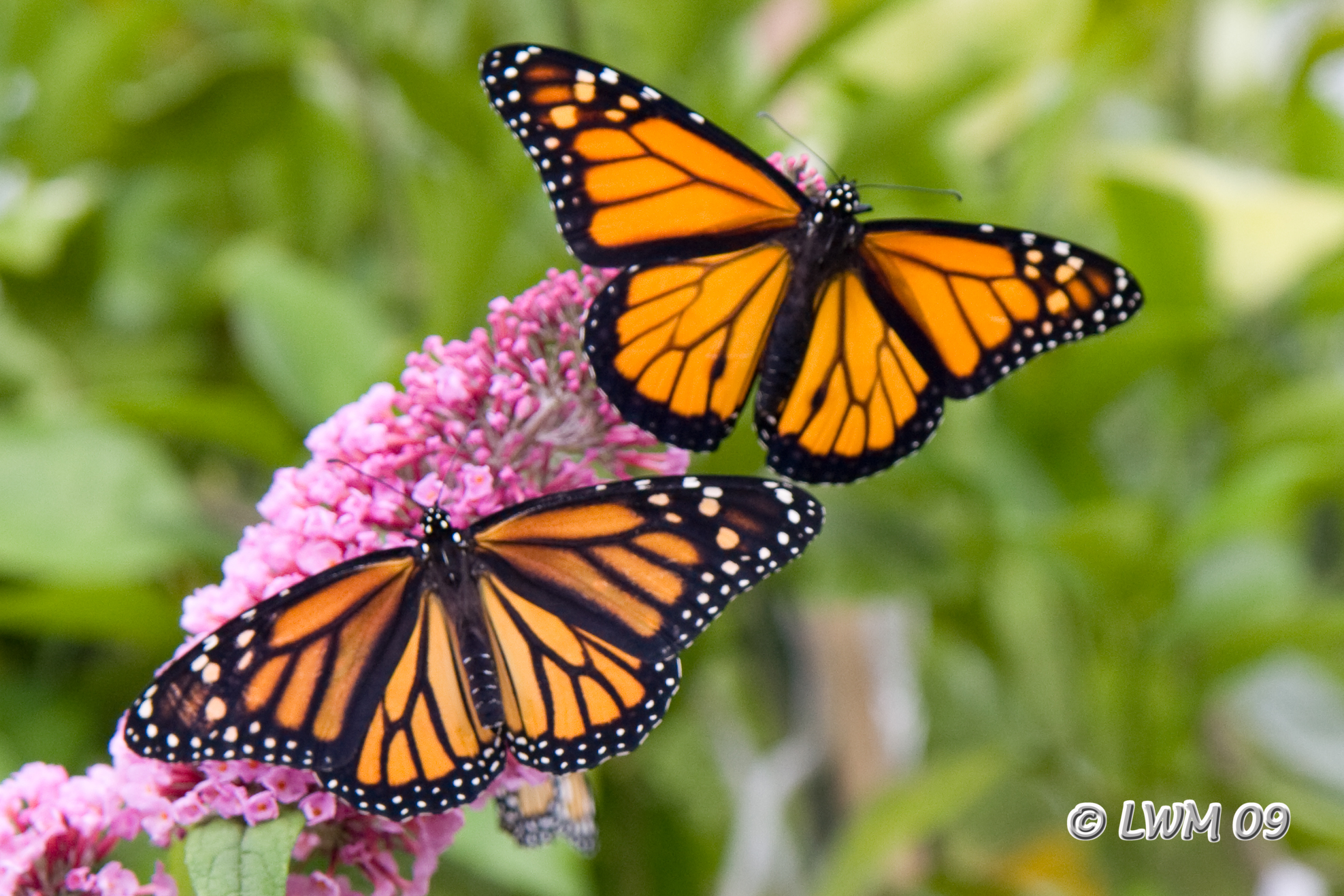 a comparison between the monarch and weed butterfly Milkweed and monarch including manitoba, have some or all species of milkweed on their noxious weed list in manitoba, common milkweed a number of things are being done to address the failure of both the monarch butterfly and the milkweed, and there are also things we can do.