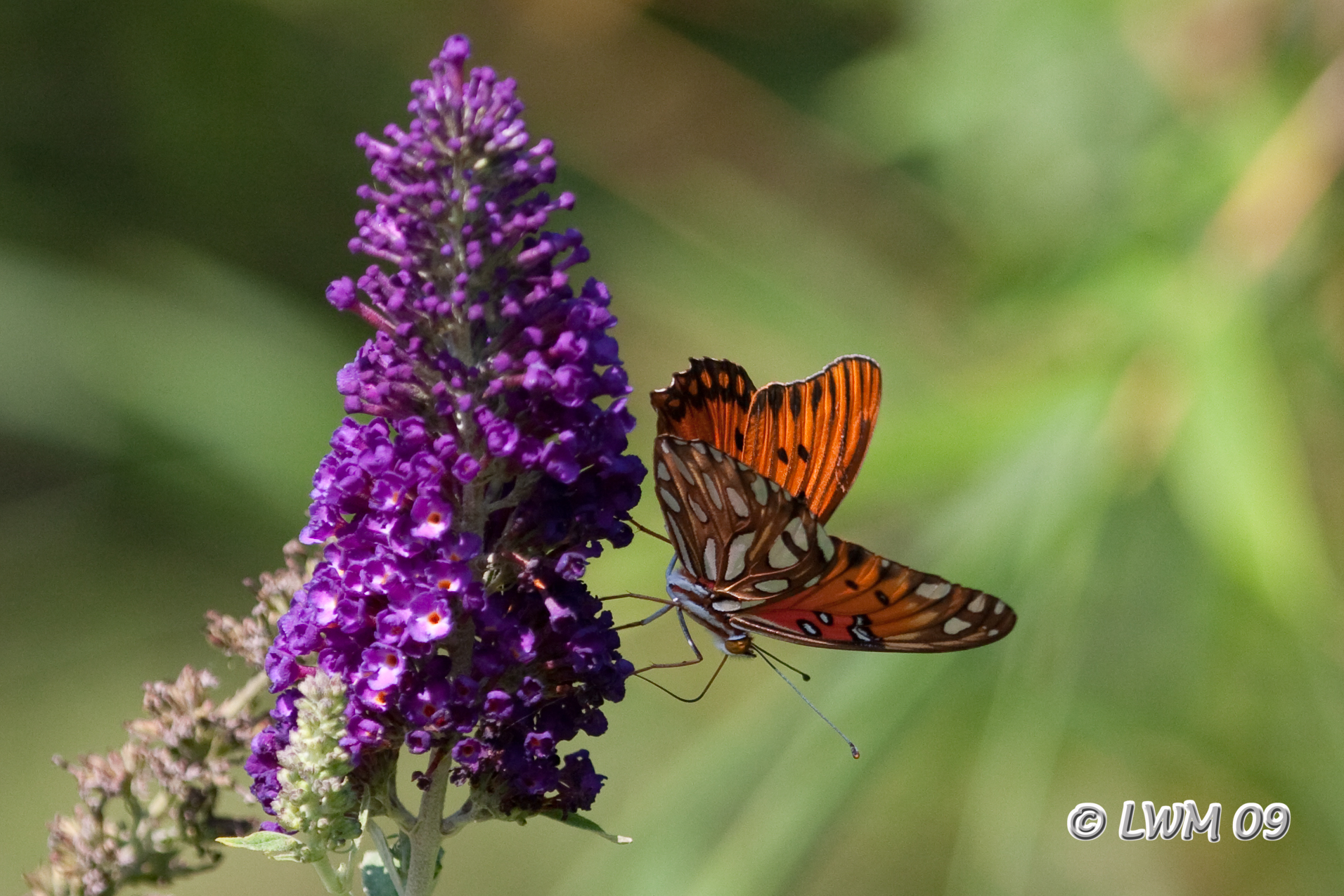 Where Have All Monarchs Gone >> Butterfly Bush | Texdr's Blog