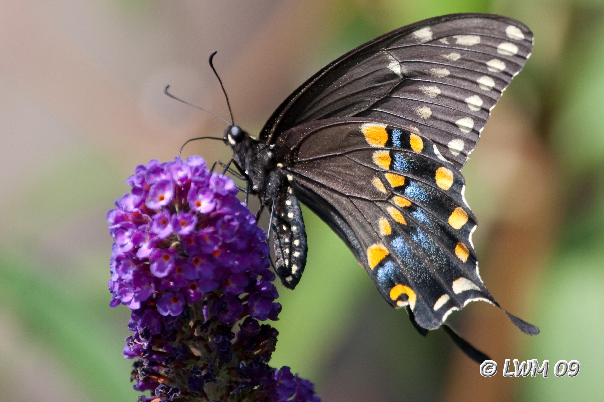 Eastern Black Swallowtail   Texdr's Blog Black Swallowtail Caterpillar