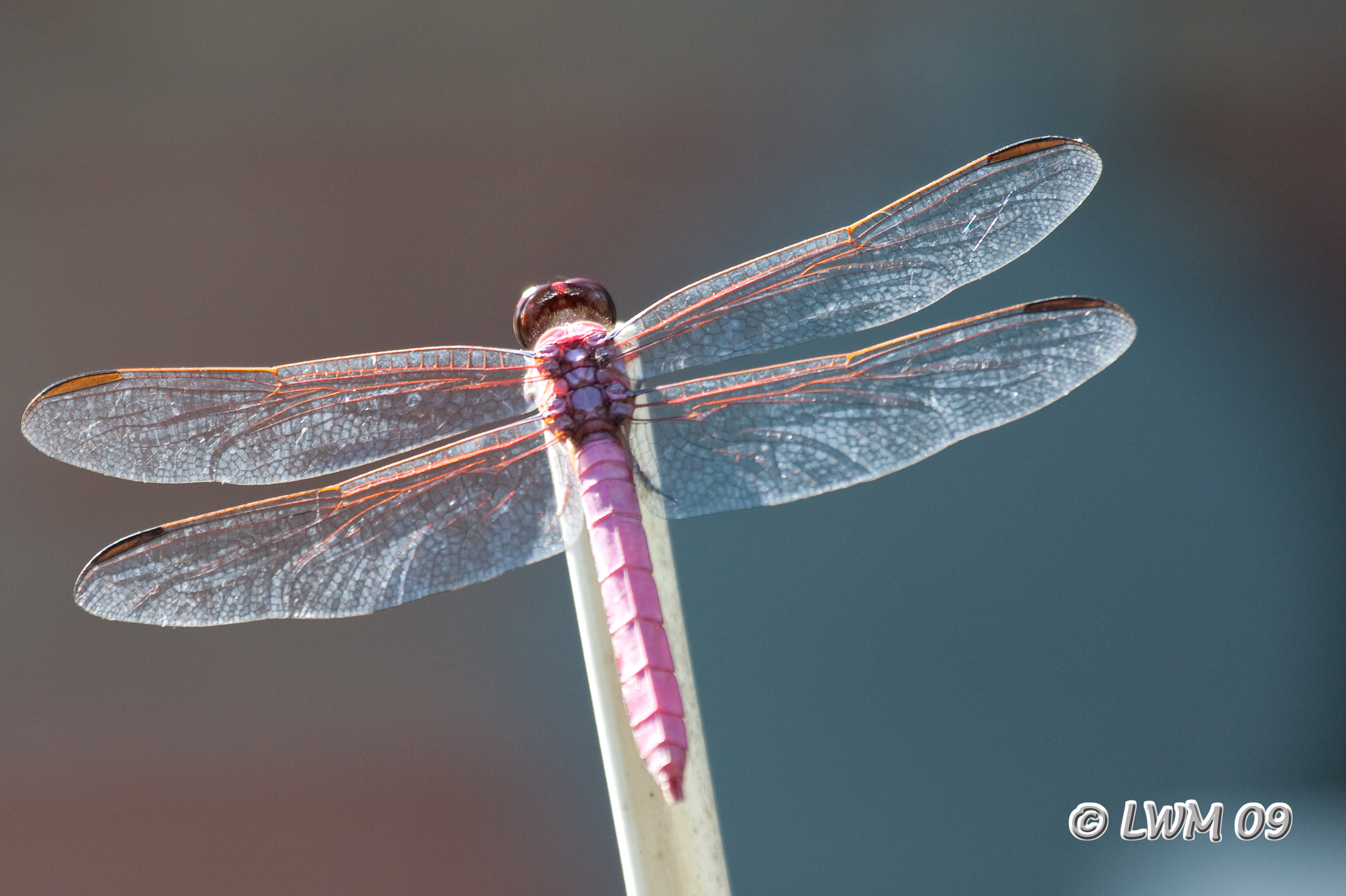 Pink Dragonfly Texdr S Blog