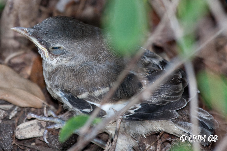 Baby Mockingbird 1   Flickr - Photo Sharing!  Newborn Mockingbird