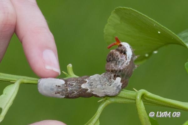 giant swallowtail caterpillar texdrs blog