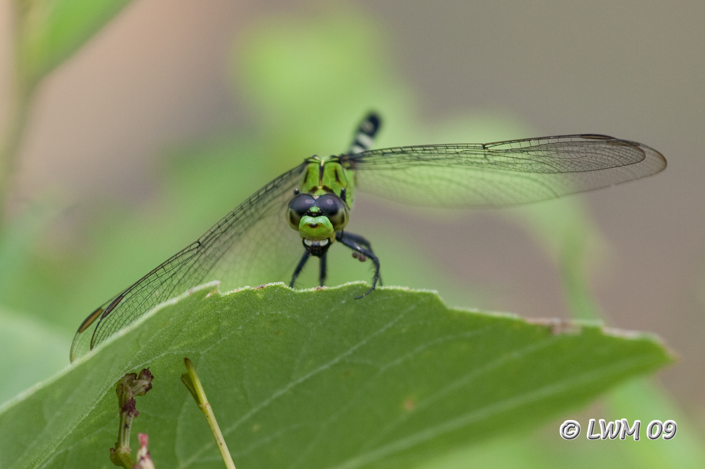 Green dragonfly pictures - photo#19